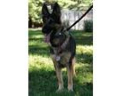 Adopt Mazie a Black - with Tan, Yellow or Fawn German Shepherd Dog / Mixed dog