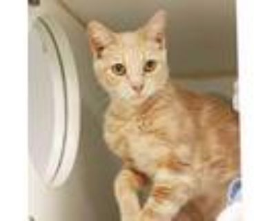 Adopt Sissy a Orange or Red Domestic Shorthair / Domestic Shorthair / Mixed cat