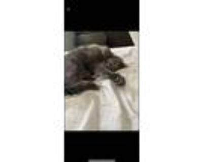 Adopt Ziggy a Gray or Blue Domestic Shorthair / Mixed (short coat) cat in