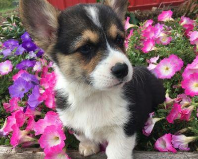 Pembroke Welsh Corgi Puppies!!
