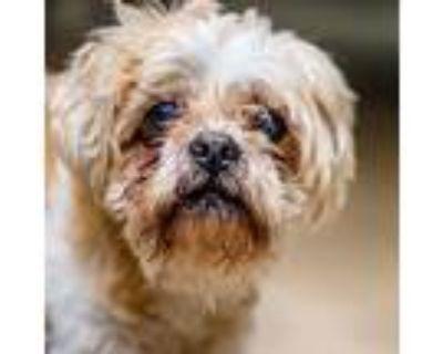 Adopt Taz a Tan/Yellow/Fawn Shih Tzu / Mixed dog in Decatur, GA (31696148)