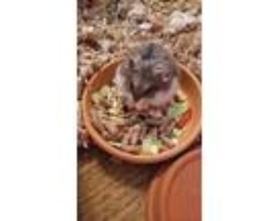 Adopt Mitera a Brown or Chocolate Hamster (short coat) small animal in Tucson