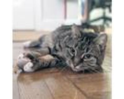 Adopt Caboodle a Brown or Chocolate Domestic Shorthair / Domestic Shorthair /