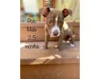Adopt Polo a Pit Bull Terrier, Labrador Retriever