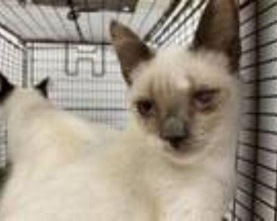 Adopt A1991099 a Siamese