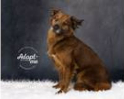 Adopt Ginger a Chow Chow
