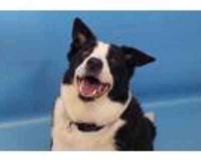 Adopt Collin a Black Border Collie / Mixed dog in Woodbury, MN (32128236)