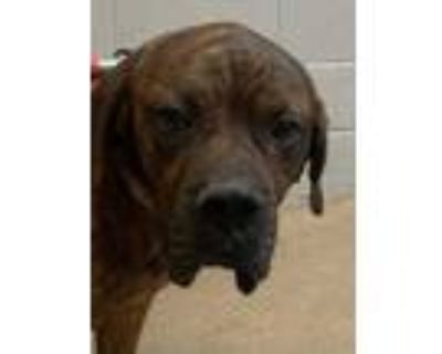Adopt Kevin* a Brindle Mastiff / Mixed dog in Anderson, SC (31911767)