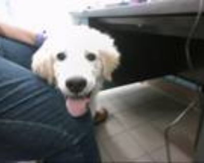 Adopt BOOGA a Great Pyrenees, Mixed Breed