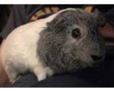 Adopt Jynx a White Guinea Pig / Mixed small animal in Lowell, MA (31562865)