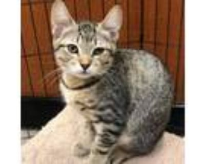 Adopt Bella Swan a Brown or Chocolate Domestic Shorthair / Mixed cat in
