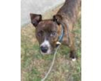 Adopt Madonna a Brindle American Pit Bull Terrier / Mixed dog in Newport News