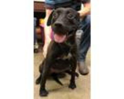 Adopt Lola a Black - with White Boxer / Labrador Retriever / Mixed dog in