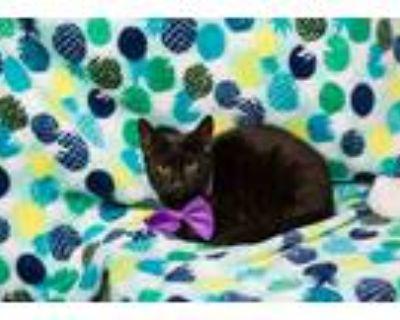 Adopt Blackjack a All Black Domestic Shorthair / Mixed cat in Washington