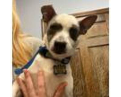 Adopt Juni a White Jack Russell Terrier / Dachshund / Mixed dog in Shawnee