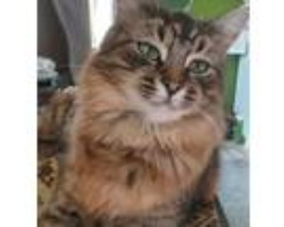 Adopt Mrs. Norris, special needs a Brown Tabby Maine Coon (long coat) cat in