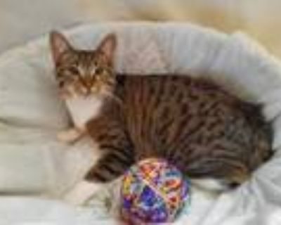 Adopt Tommy Kitten a Tabby