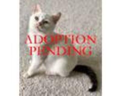 Adopt Sydney a White Domestic Shorthair (short coat) cat in Merrifield