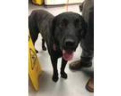 Adopt 42163931 a Black Labrador Retriever / Mixed dog in Los Lunas