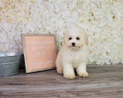 Bichonpoo Bichon puppy