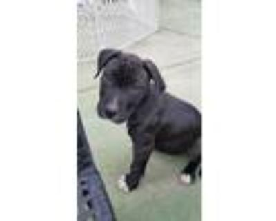 Adopt Flasher a Pit Bull Terrier, Mixed Breed