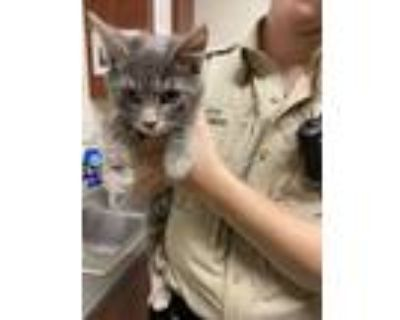 Adopt Toad a Gray or Blue Domestic Longhair / Domestic Shorthair / Mixed cat in