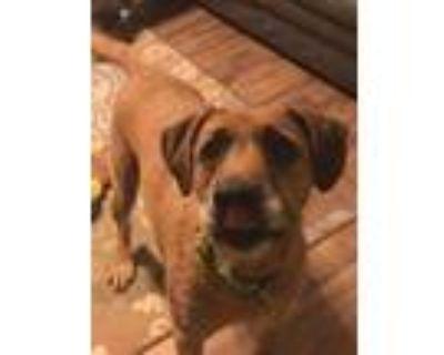 Adopt Solomon a Tan/Yellow/Fawn Rhodesian Ridgeback / Irish Wolfhound / Mixed