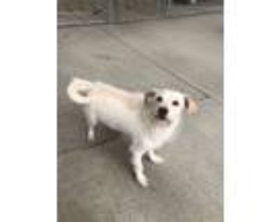 Adopt Ghost a Parson Russell Terrier