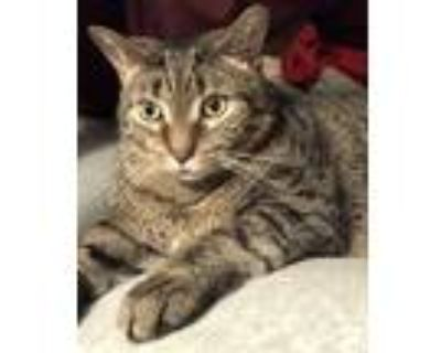 Adopt Chucky a Brown Tabby American Shorthair / Mixed (short coat) cat in