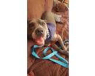 Adopt Lexa- IN FOSTER a Gray/Blue/Silver/Salt & Pepper Mixed Breed (Large) /
