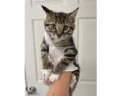Adopt Goldie a All Black Domestic Shorthair / Domestic Shorthair / Mixed cat in