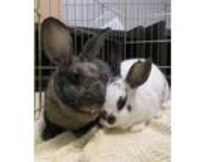Adopt Saturn a Chocolate Other/Unknown / Other/Unknown / Mixed rabbit in Oak