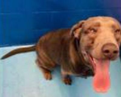 Adopt Blu a Brown/Chocolate Labrador Retriever / Mixed dog in Newport News