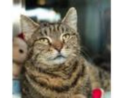 Adopt Peppy a Domestic Short Hair