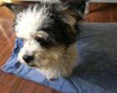 Adopt Captain a Black - with White Poodle (Standard) / Poodle (Standard) / Mixed