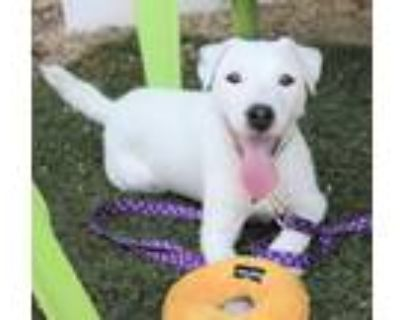 Adopt Harry a Jack Russell Terrier