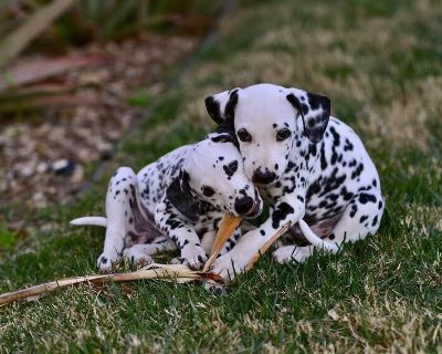 Dalmatian Puppies - bred with Families in mind!
