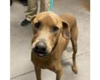 Adopt Tyson a Labrador Retriever dog in Yuma, AZ (31259995)