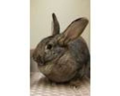 Adopt Sarabi a Chocolate Other/Unknown / Other/Unknown / Mixed rabbit in