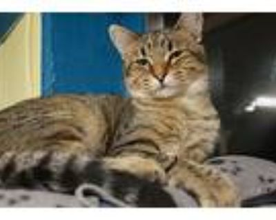 Tina, Domestic Shorthair For Adoption In New Richmond,, Wisconsin