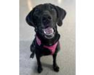 Adopt Maddy (in foster) a Black Labrador Retriever / Coonhound / Mixed dog in