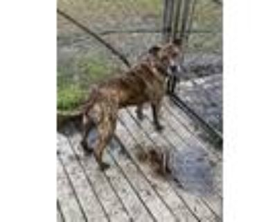 Adopt Tigger a Brindle - with White American Pit Bull Terrier / Mixed dog in