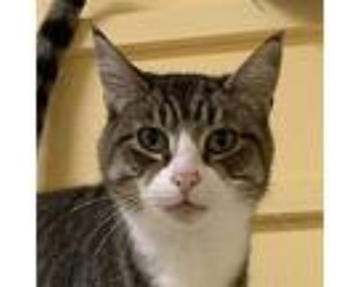 Dolce, Domestic Shorthair For Adoption In Eastsound, Washington