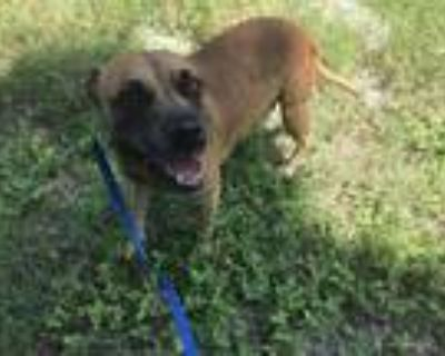 Adopt 47999317 a Brown/Chocolate Boxer / Mixed dog in Fort Worth, TX (31614870)