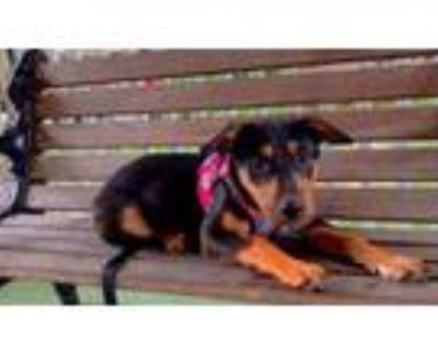 Adopt Penelope a Labrador Retriever, Doberman Pinscher