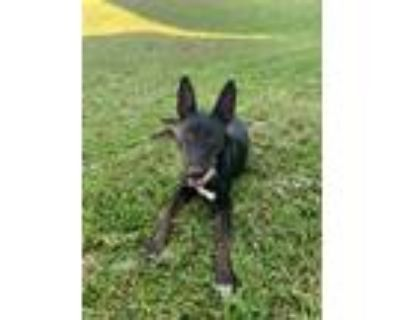 Adopt Mia a Black Bull Terrier / Belgian Malinois / Mixed dog in Andover