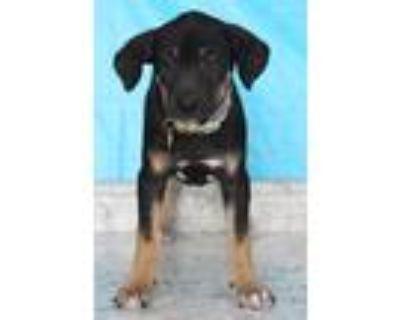 Adopt Fawn a Tricolor (Tan/Brown & Black & White) Labrador Retriever / Mixed dog