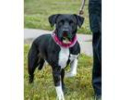 Adopt COLE a Black American Pit Bull Terrier / Mixed dog in Derwood