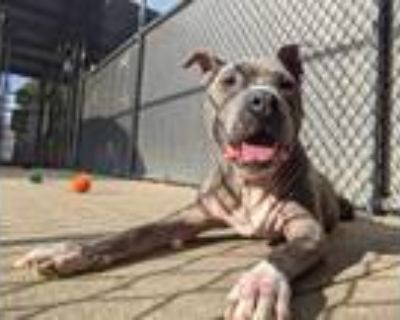 Adopt Gaby a Gray/Silver/Salt & Pepper - with White Pit Bull Terrier / Mixed dog