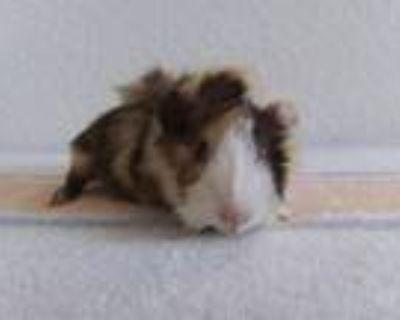 Adopt MOOSE a Guinea Pig